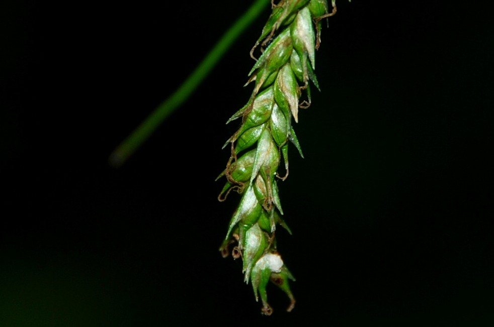 Carex sylvatica 13