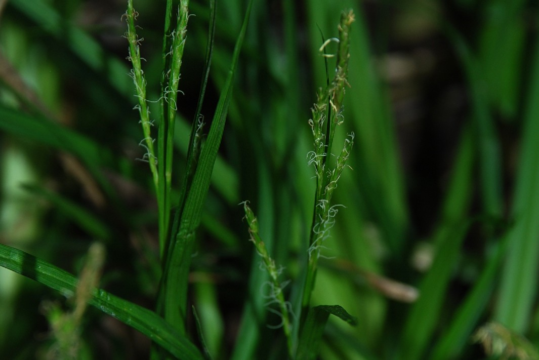 Carex sylvatica 2 ESCAPE='HTML'