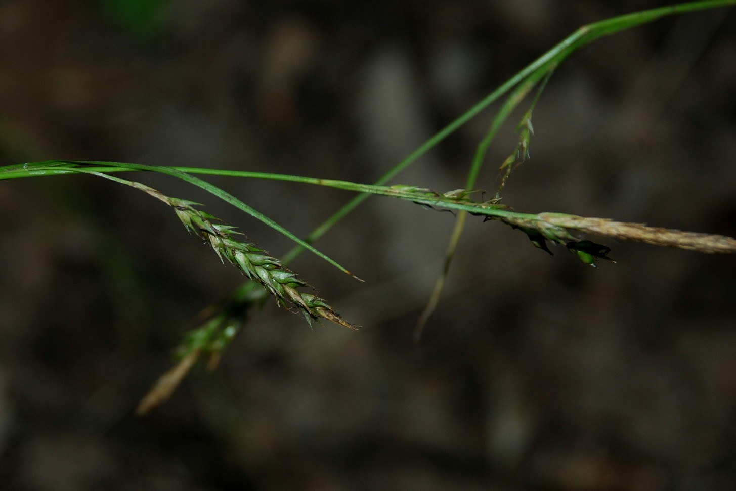 Carex sylvatica 5