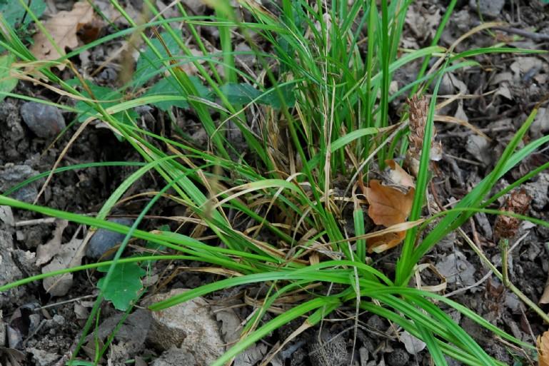 Carex sylvatica 8