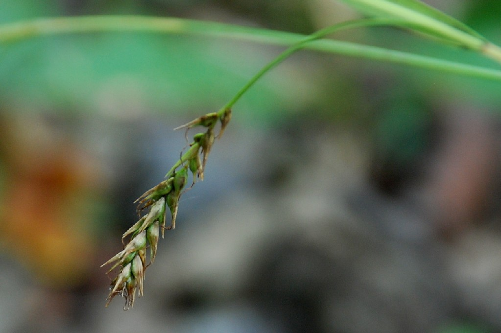 Carex sylvatica 9