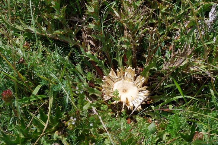 Carlina acanthifolia 3