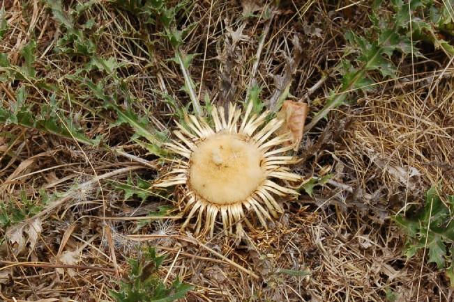 Carlina acanthifolia subsp. acanthifolia