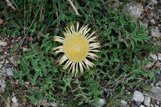 Carlina acanthifolia subsp. acanthifolia 2