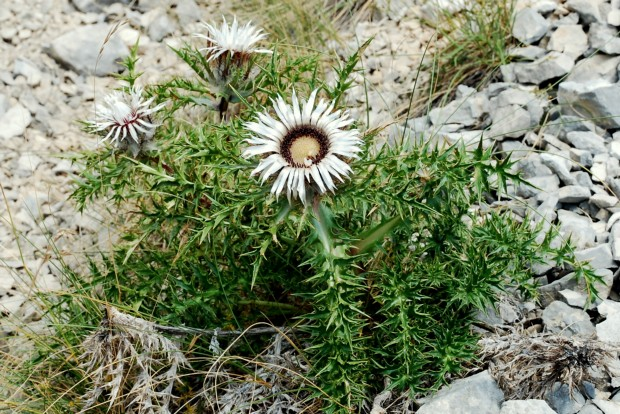 Carlina acaulis subsp. caulescens 2