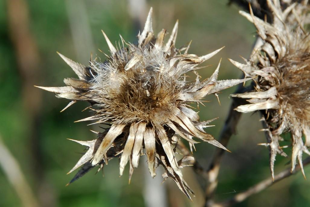 Carlina corymbosa var. corymbosa 29