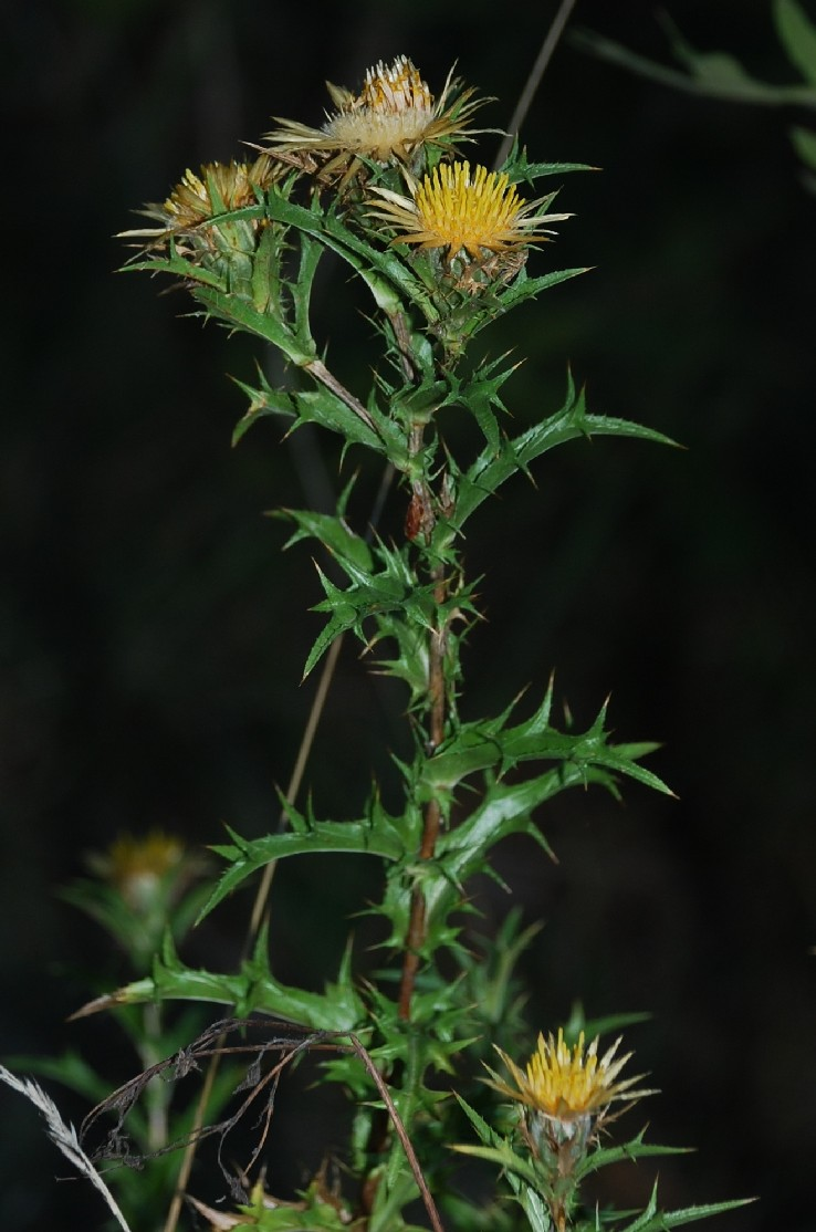 Carlina corymbosa var. corymbosa 5