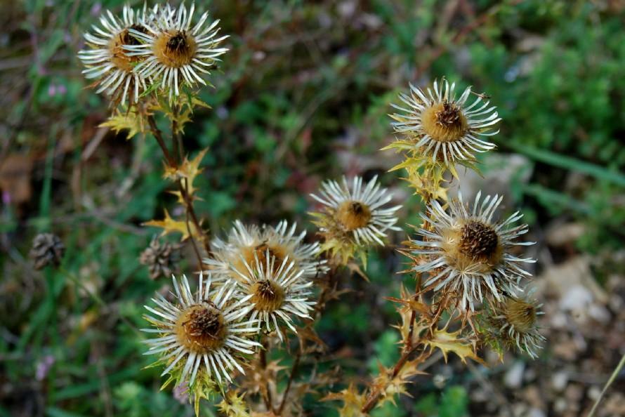 Carlina vulgaris subsp. vulgaris
