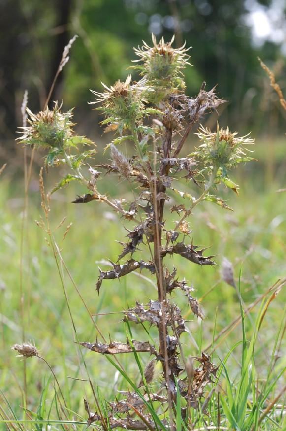 Carlina vulgaris subsp. vulgaris 10