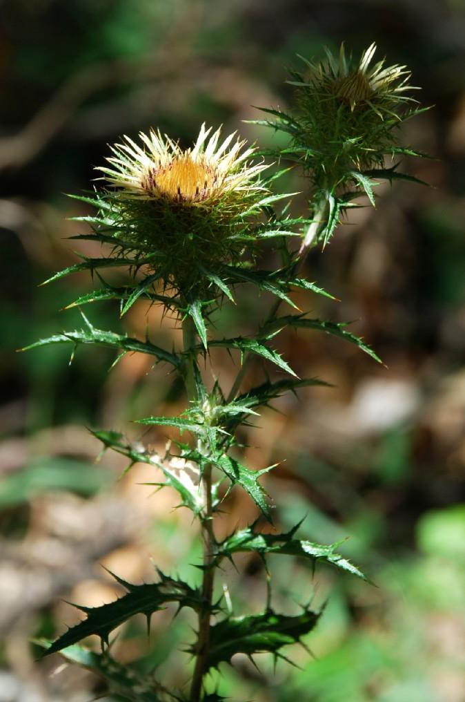 Carlina vulgaris subsp. vulgaris 11