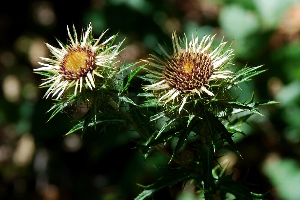Carlina vulgaris subsp. vulgaris 12