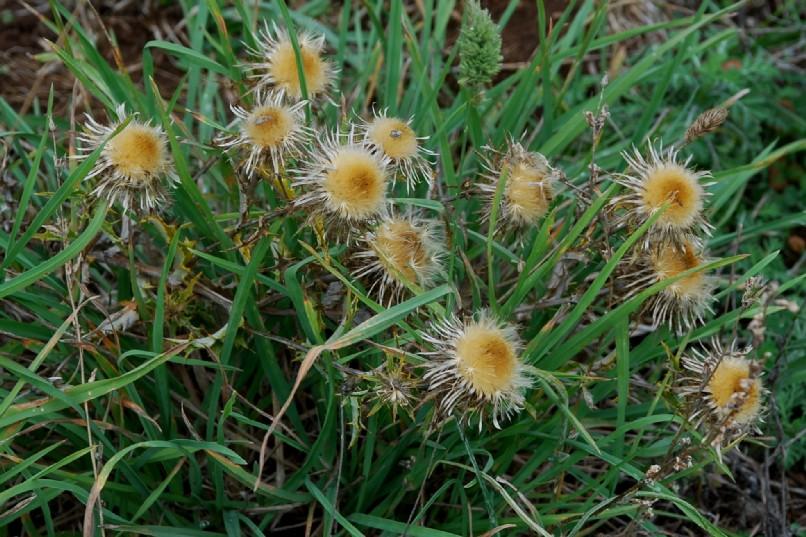 Carlina vulgaris subsp. vulgaris 13