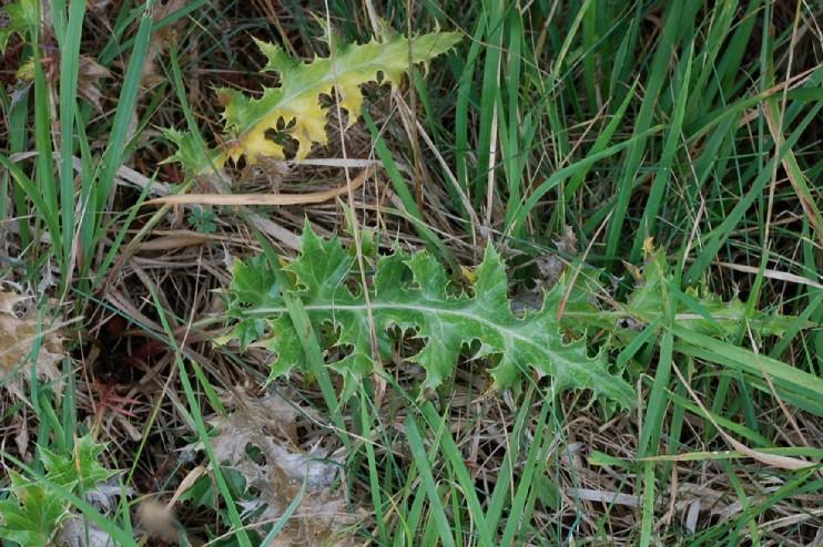 Carlina vulgaris subsp. vulgaris 14