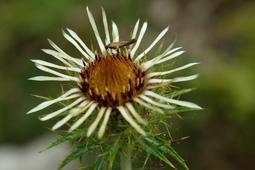 Carlina vulgaris subsp. vulgaris 2