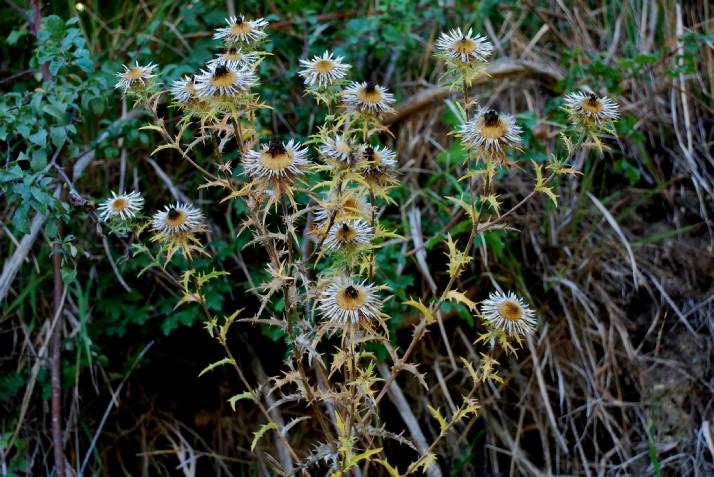 Carlina vulgaris subsp. vulgaris 4