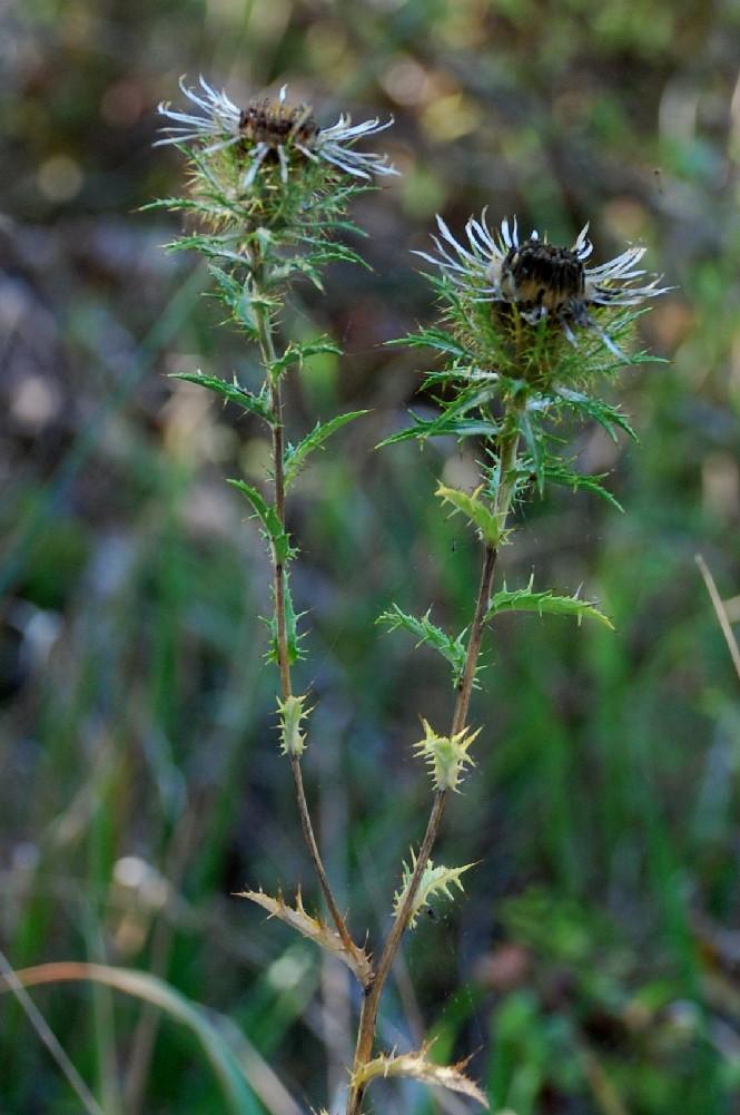 Carlina vulgaris subsp. vulgaris 5