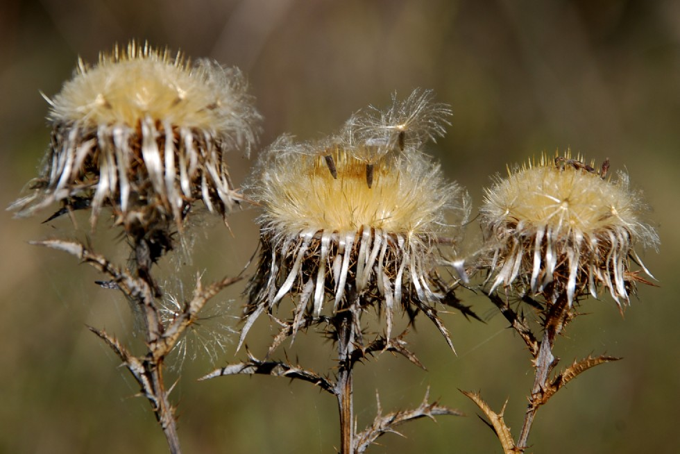 Carlina vulgaris subsp. vulgaris 6