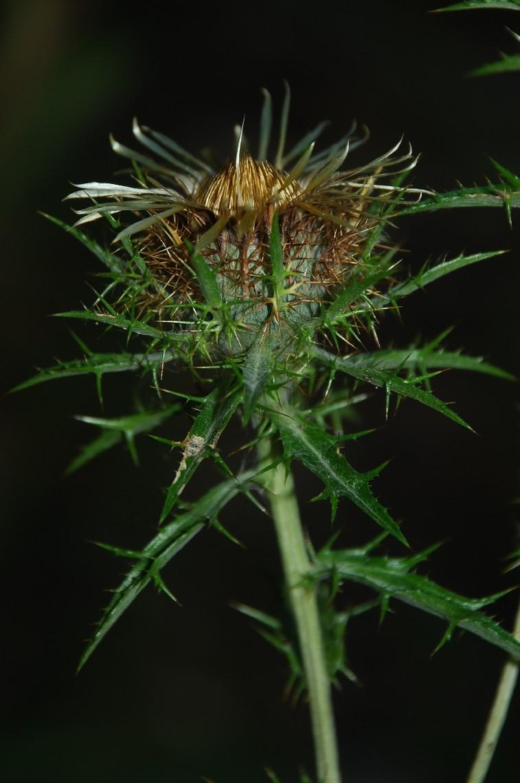 Carlina vulgaris subsp. vulgaris 7