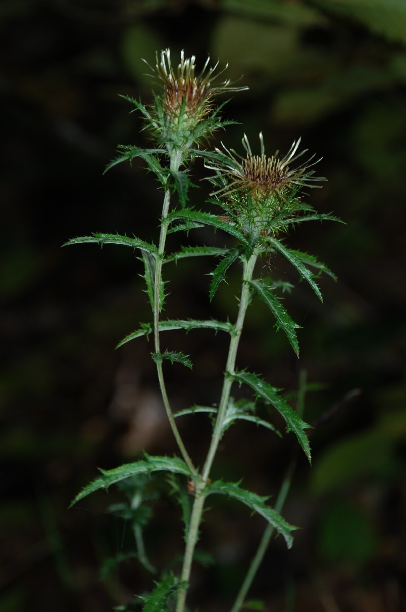 Carlina vulgaris subsp. vulgaris 8