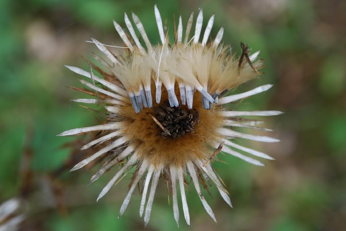 Carlina vulgaris subsp. vulgaris 9