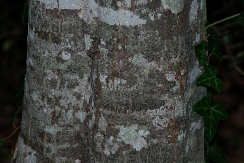 Carpinus betulus 10