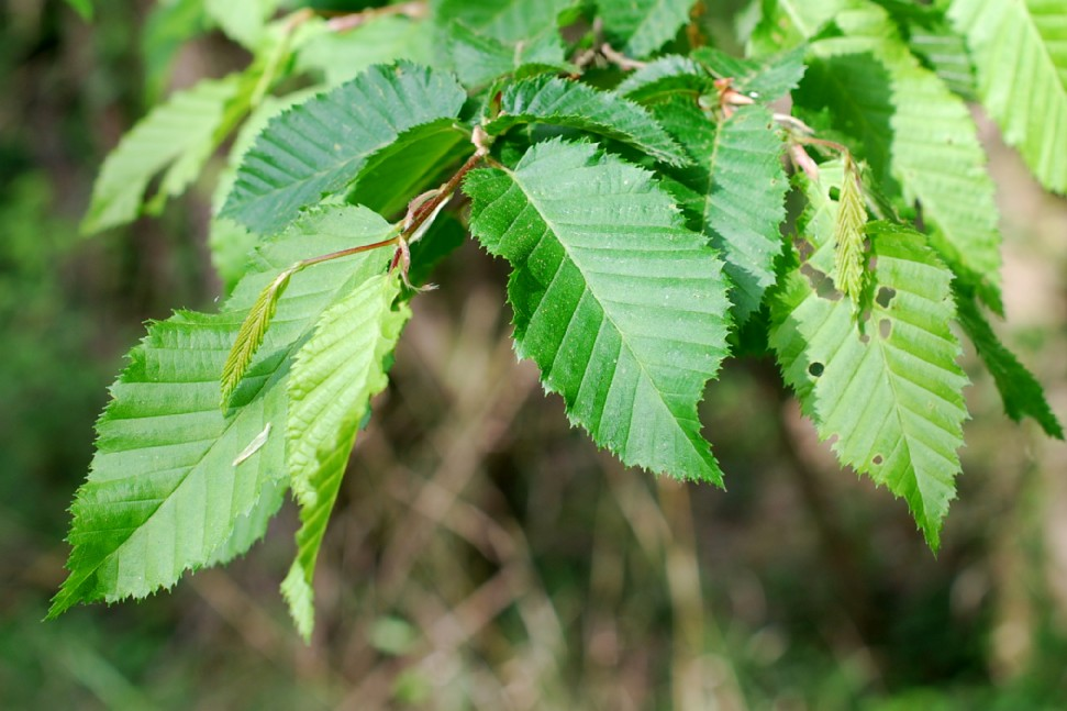 Carpinus betulus 15