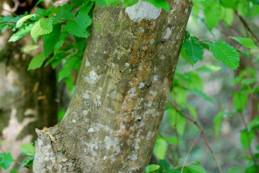Carpinus betulus 17