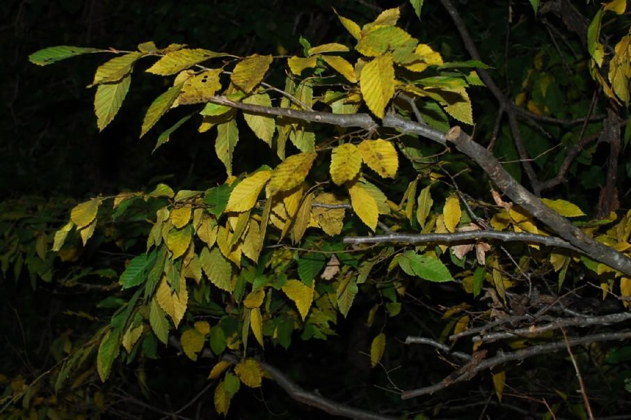 Carpinus betulus 2