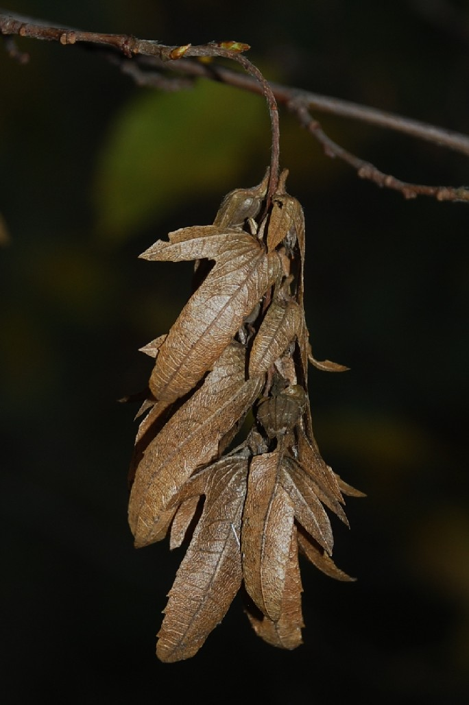 Carpinus betulus 3