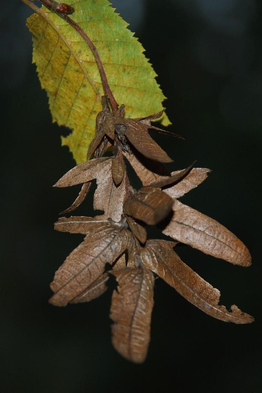 Carpinus betulus 4