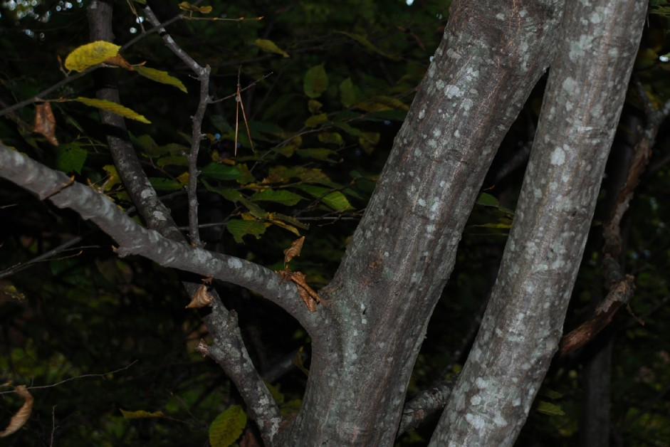 Carpinus betulus 5