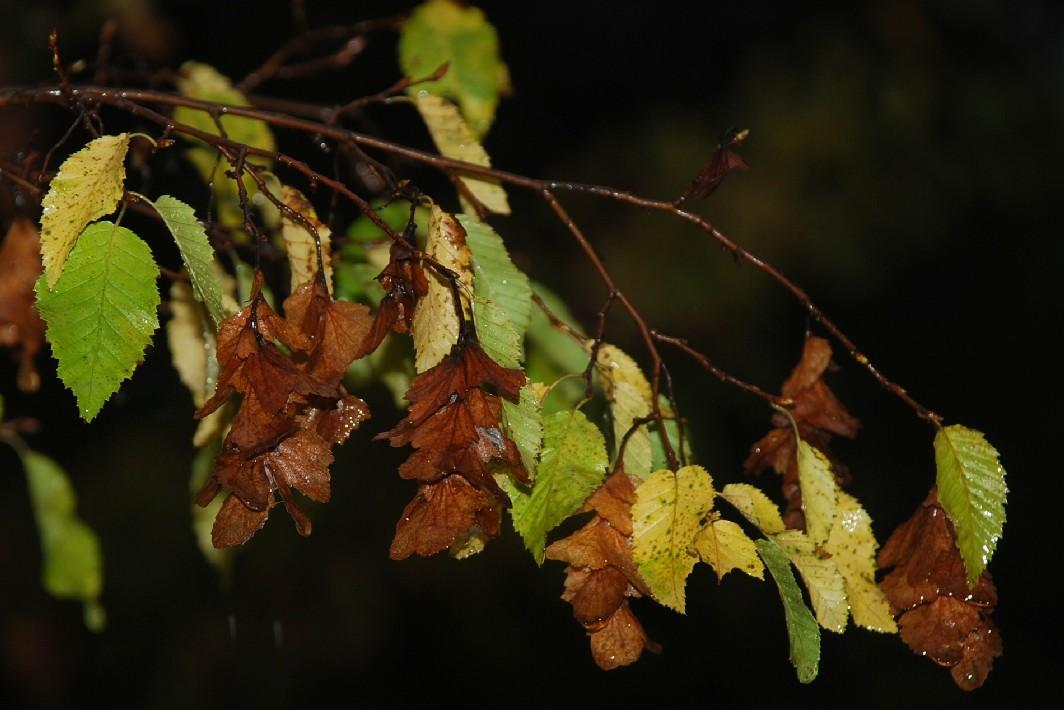 Carpinus orientalis 10