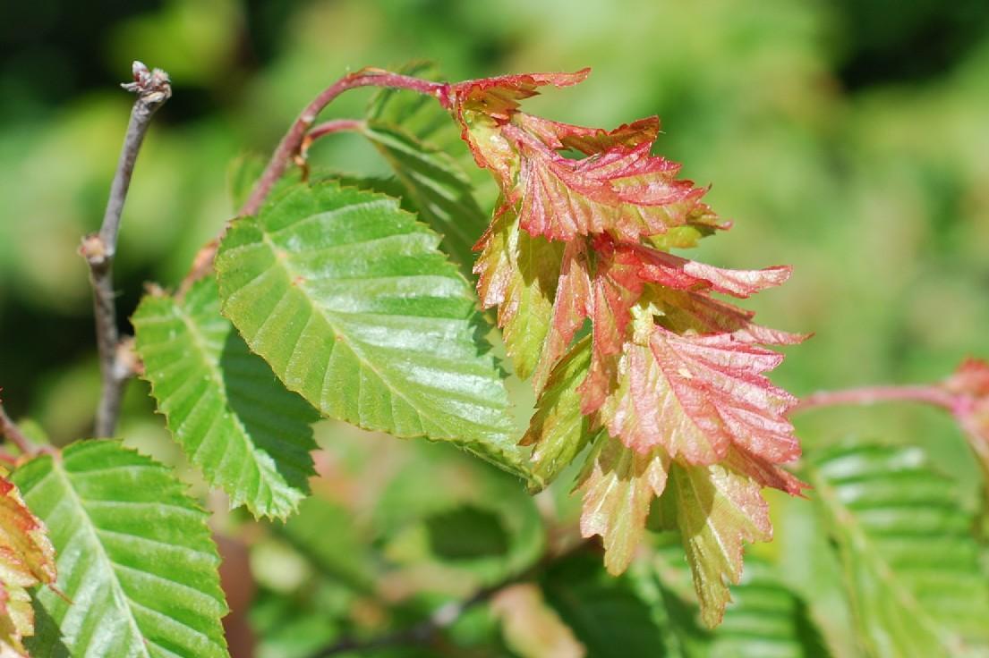 Carpinus orientalis 15