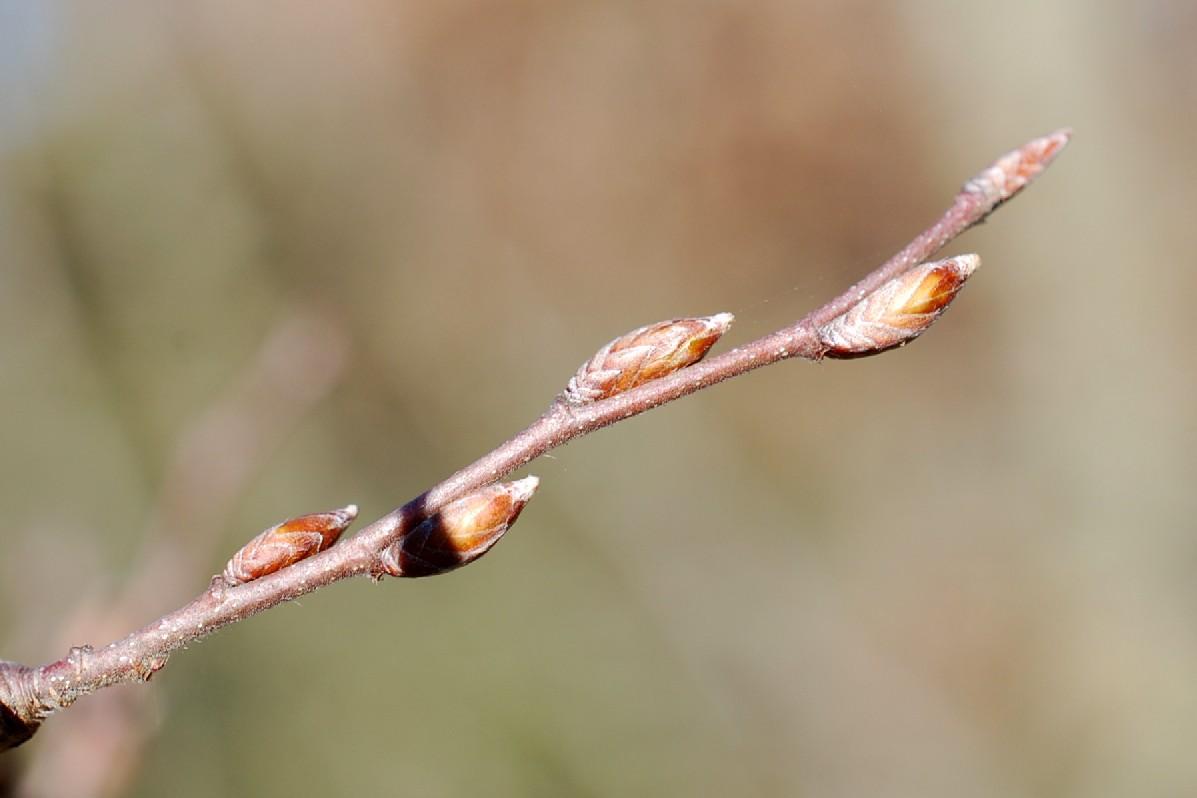 Carpinus orientalis 17