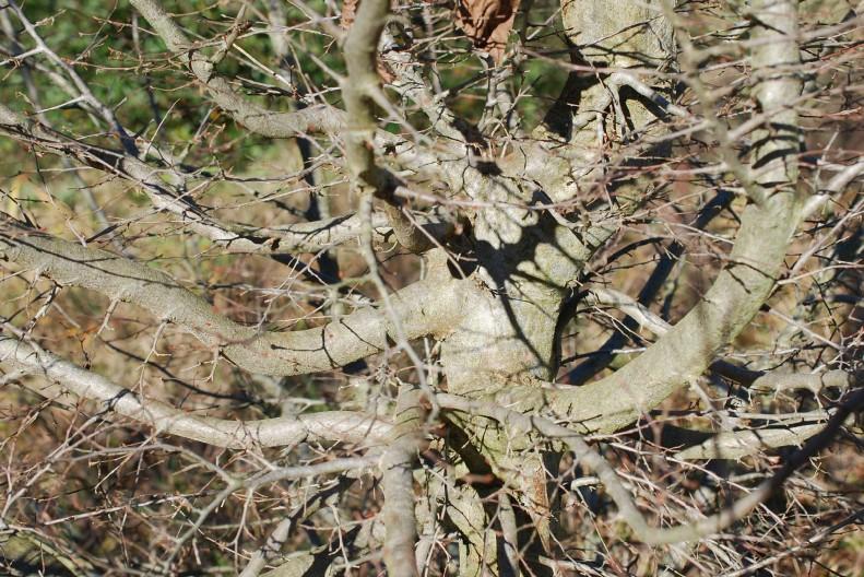 Carpinus orientalis 18