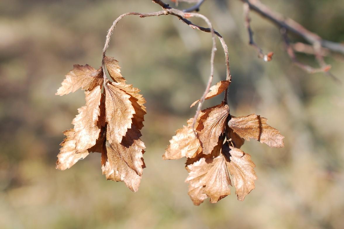 Carpinus orientalis 19