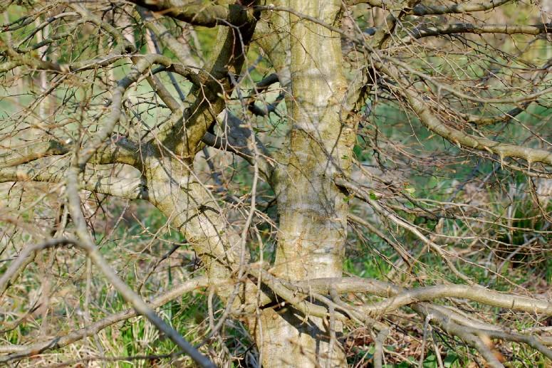 Carpinus orientalis 21