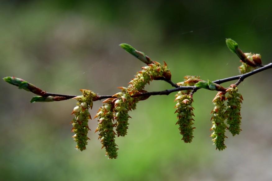 Carpinus orientalis 4