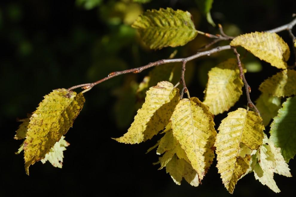 Carpinus orientalis 6
