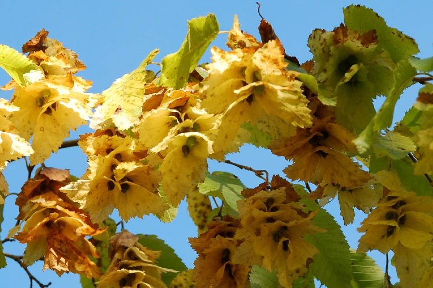 Carpinus orientalis 7