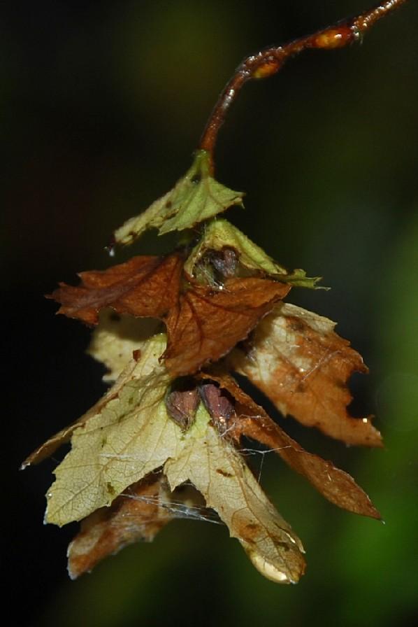 Carpinus orientalis 8