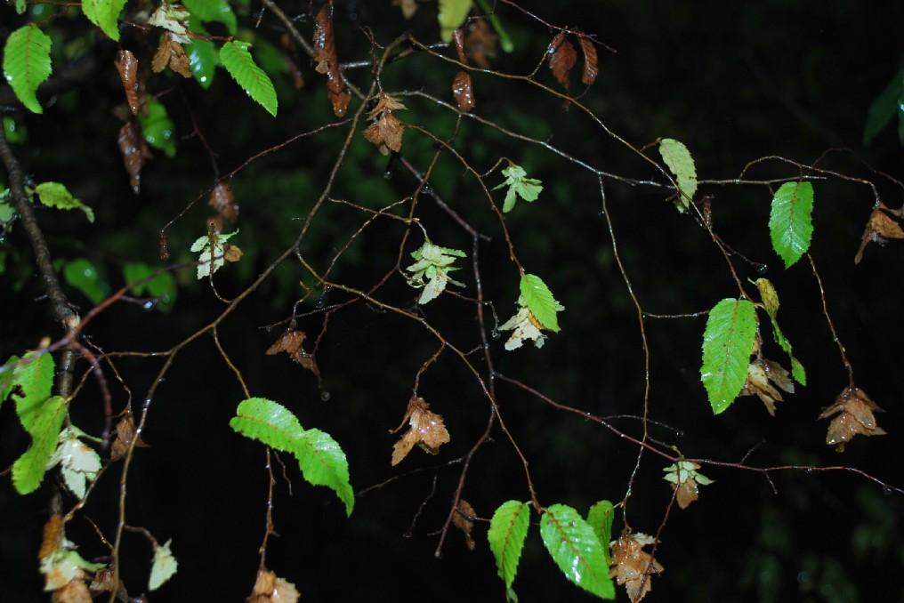 Carpinus orientalis 9