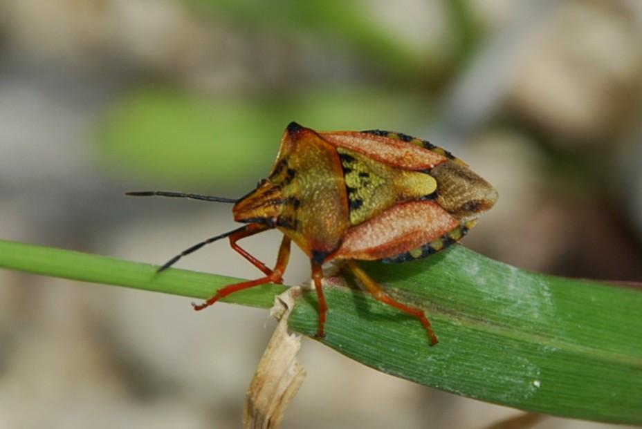 Carpocoris pudicus - Pentatomidae