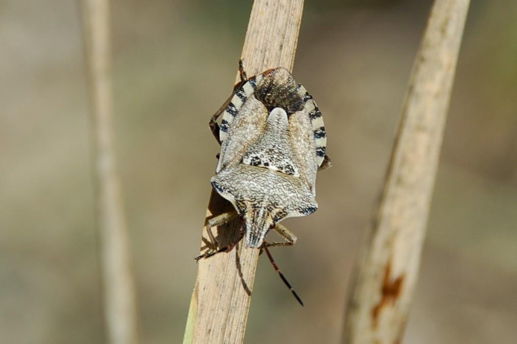 Carpocoris sp. - Pentatomidae