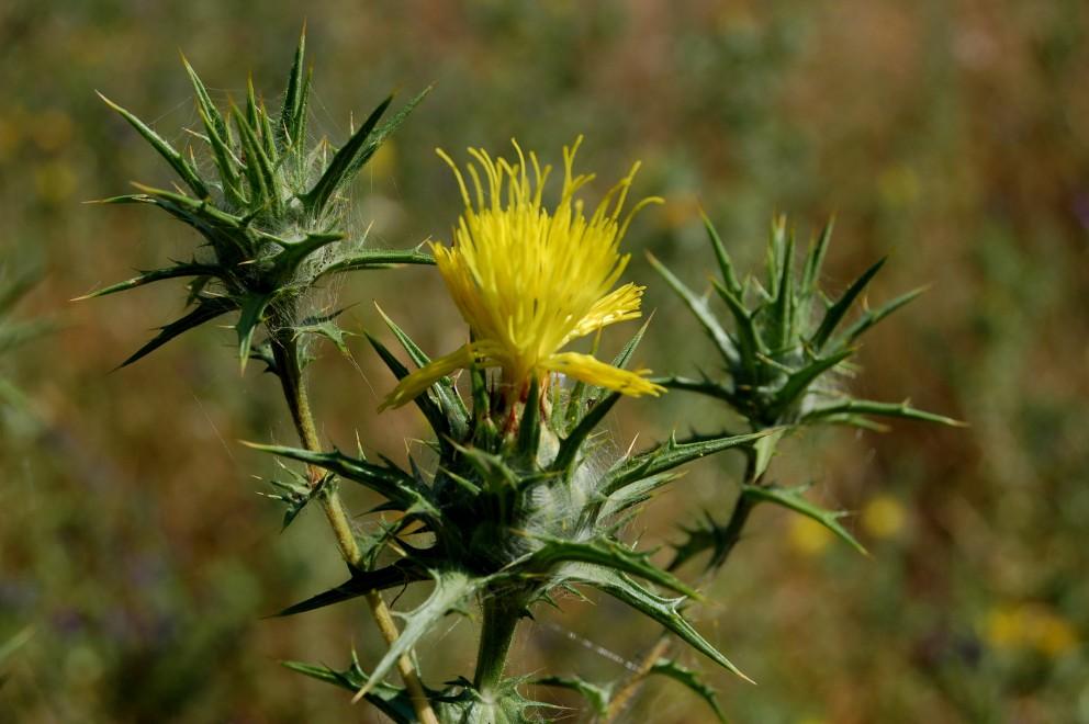 Carthamus lanatus subsp. lanatus
