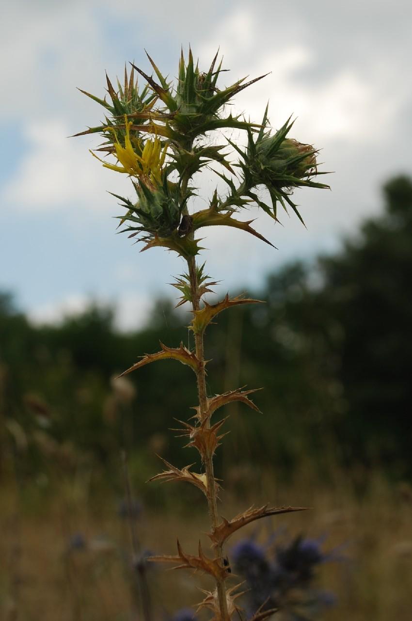 Carthamus lanatus subsp. lanatus 11