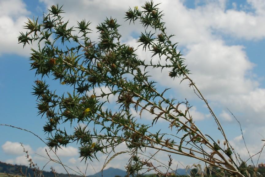 Carthamus lanatus subsp. lanatus 13
