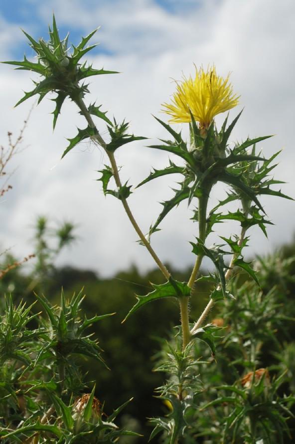 Carthamus lanatus subsp. lanatus 14