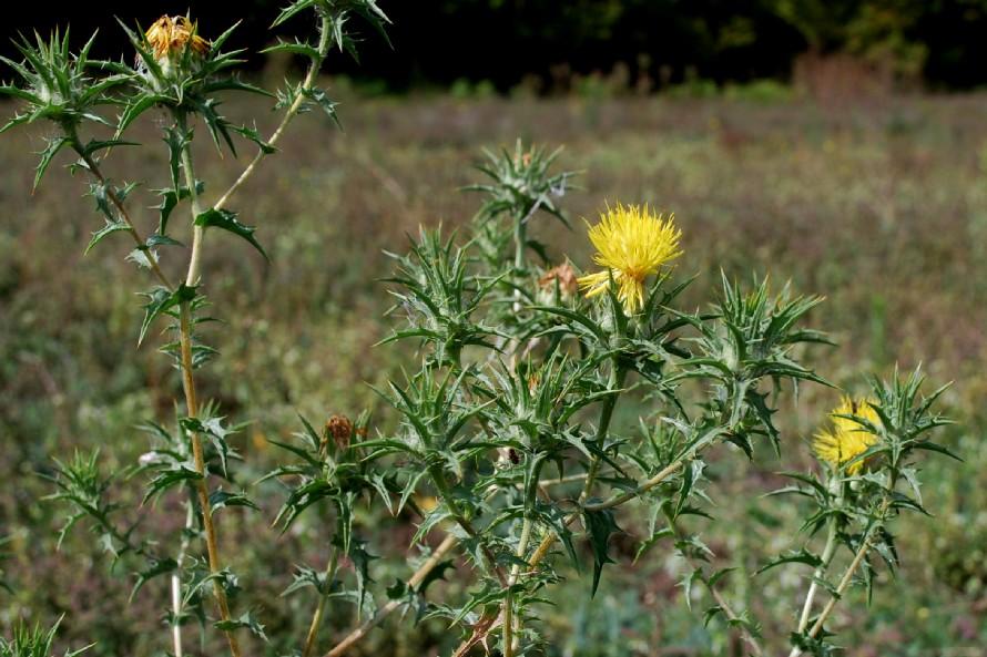 Carthamus lanatus subsp. lanatus 15