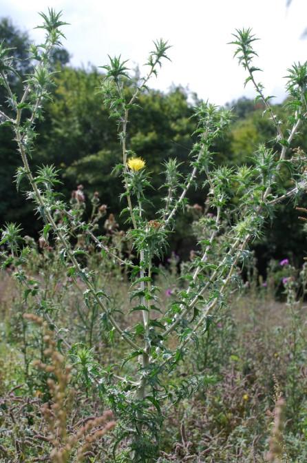 Carthamus lanatus subsp. lanatus 17